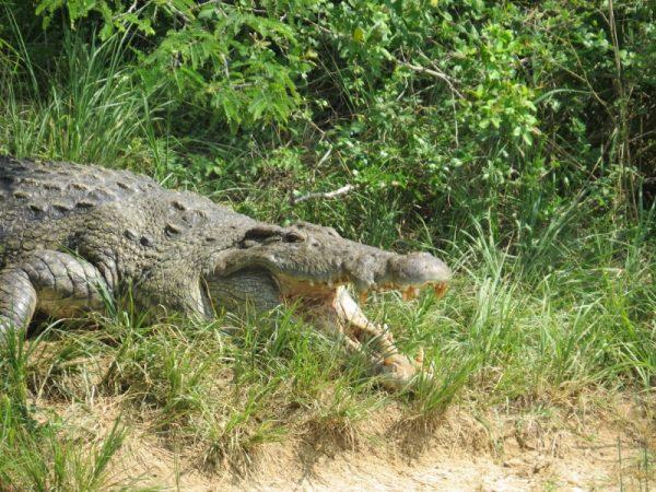 The Nile crocodile on the banks of the Nile near Murchison Falls - copyright Rupi Mangat