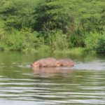 Hippos on the Nile - they lifted the Bakers boat out of the water forcing them to abandon their sail in 1864 Copyright Rupi Mangat