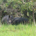 Southern white rhino at Ziwa Rhino Sanctuary Copyright: Rupi Mangat