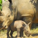 Mum and Babe southern white rhino at Ziwa Courtesy - Angie Genade, Executive Director Rhino Fund Uganda