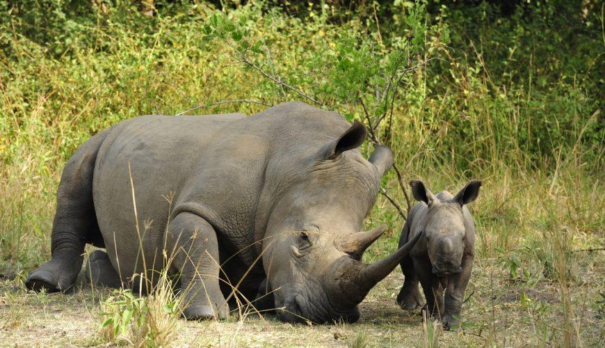 Caring moment - Mother rhino and calf at Ziwa Rhino Sanctuary Courtesy: Angie Genade Executive Director Rhino Fund Uganda