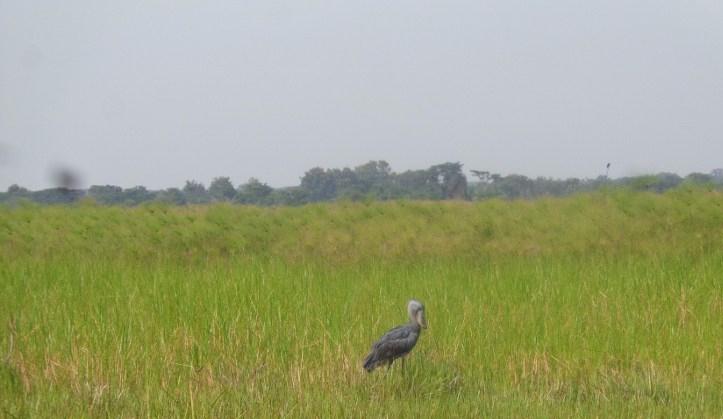 Rare bird of the swamps - the shoebill stork on community land near Ziwa Rhino sanctuary Copyright: Rupi Mangat