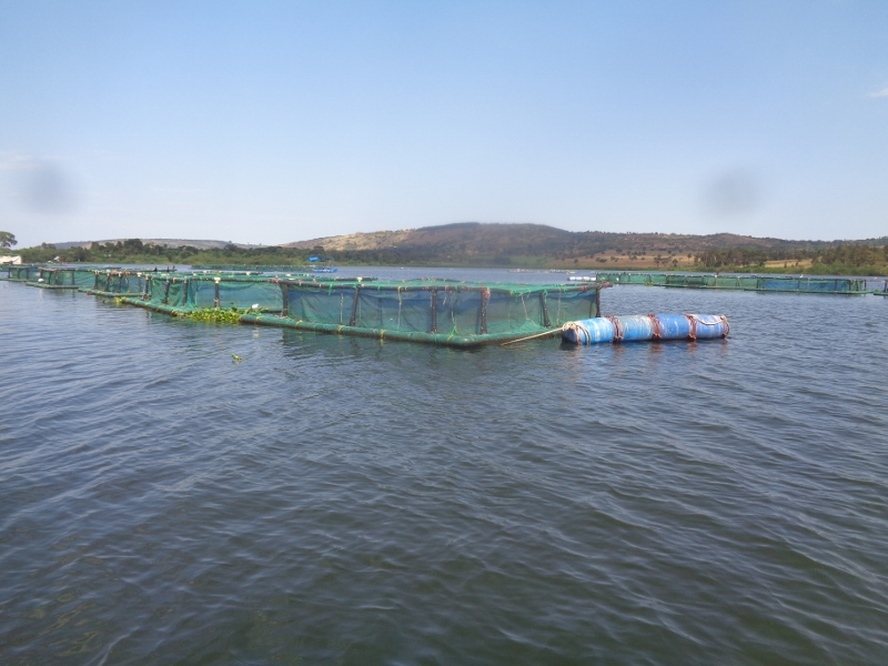Breeding cages for tilapia underwater Copyright Rupi Mangat.