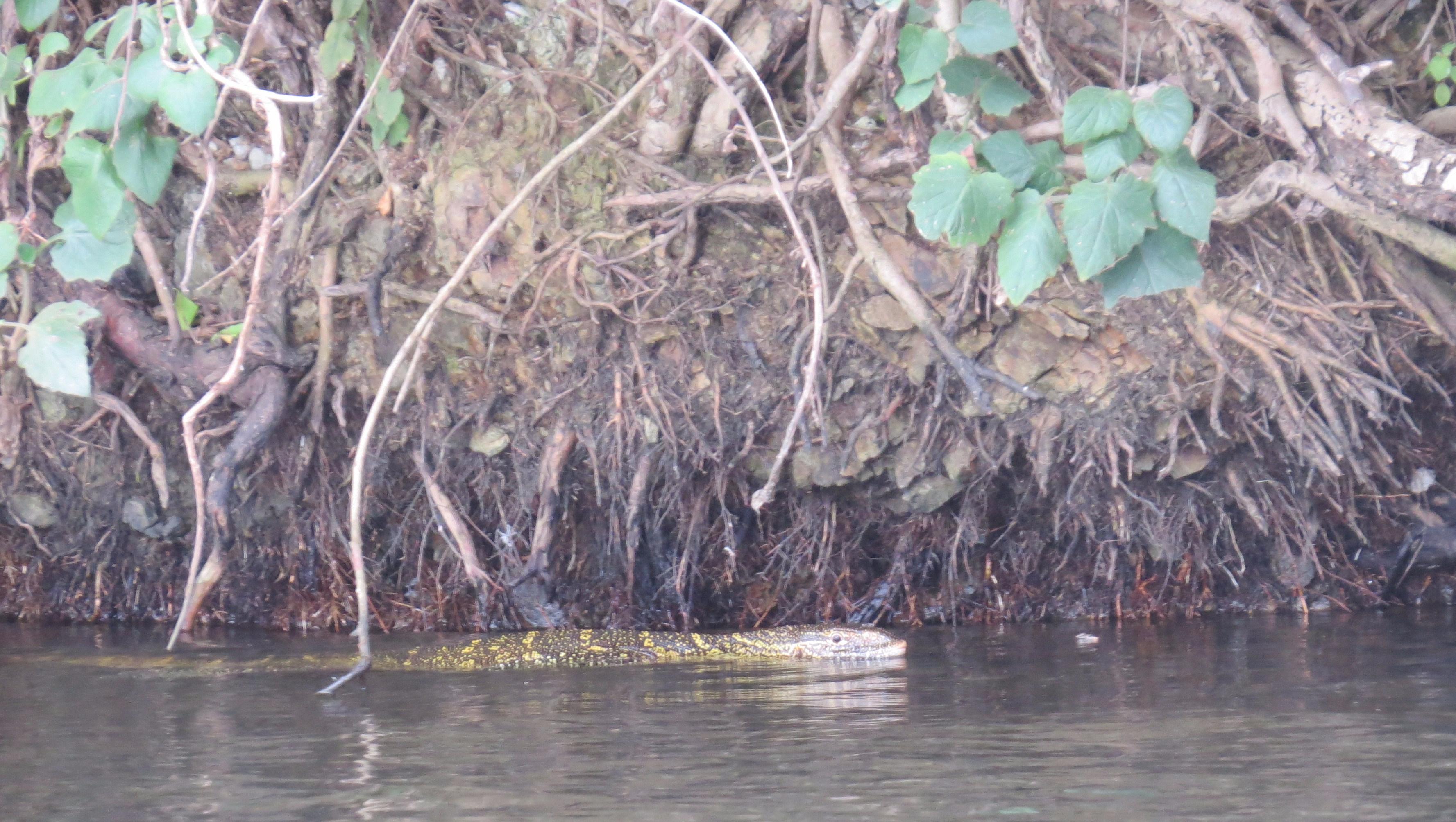 Monitor lizard on the bay on the Nile Copyright Rupi Mangat