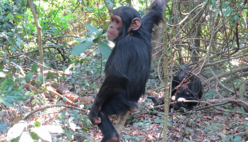 Playful young chimpanzee in Gombe National Park on the shores of Lake Tanganyika. Copyright Rupi Mangat