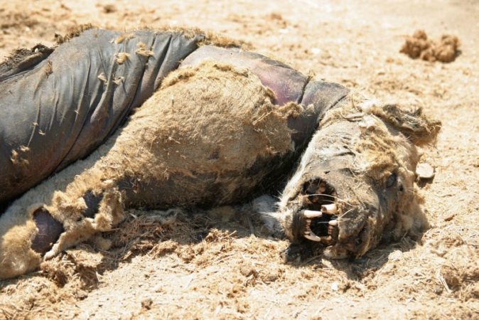 Lion poisoned in Zimbabwe. Photo by H. van der Westhuizen