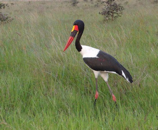 Saddle bill stork in Nairobi National Park. Copyright Sidney Shema