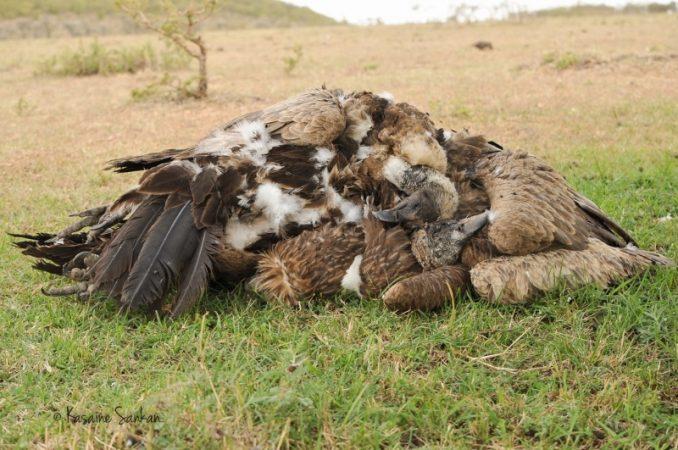 Vultures poisoned near the Masai Mara 7 July 2014. Photo E. Ole Reson