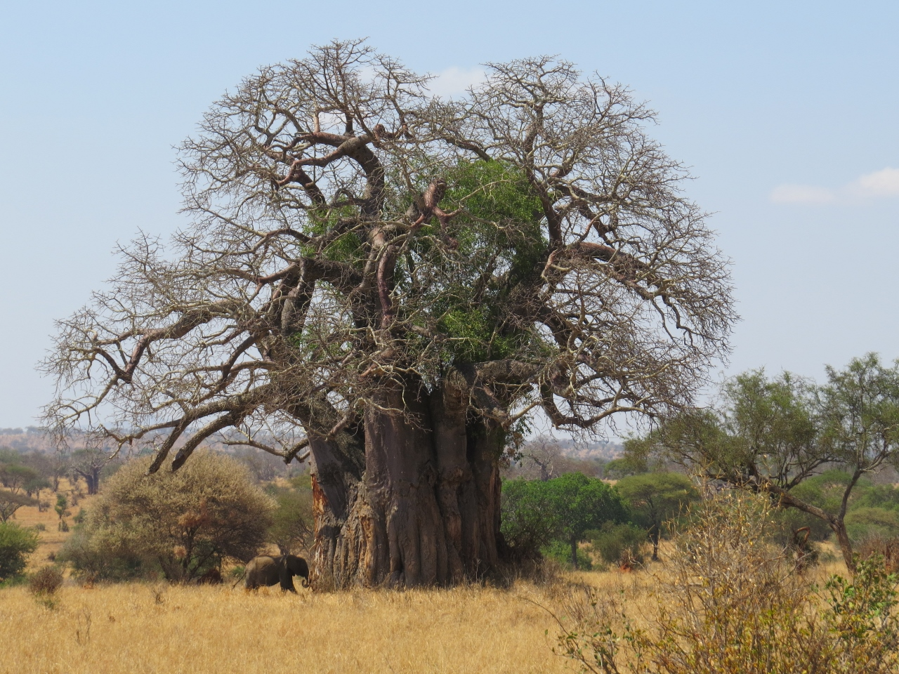 Elephant dwarfed by centuries-old baobab tree near Randilen Wildlife Mangement Area by Tarangire National Park, Tanzania Picture Galib Mangat