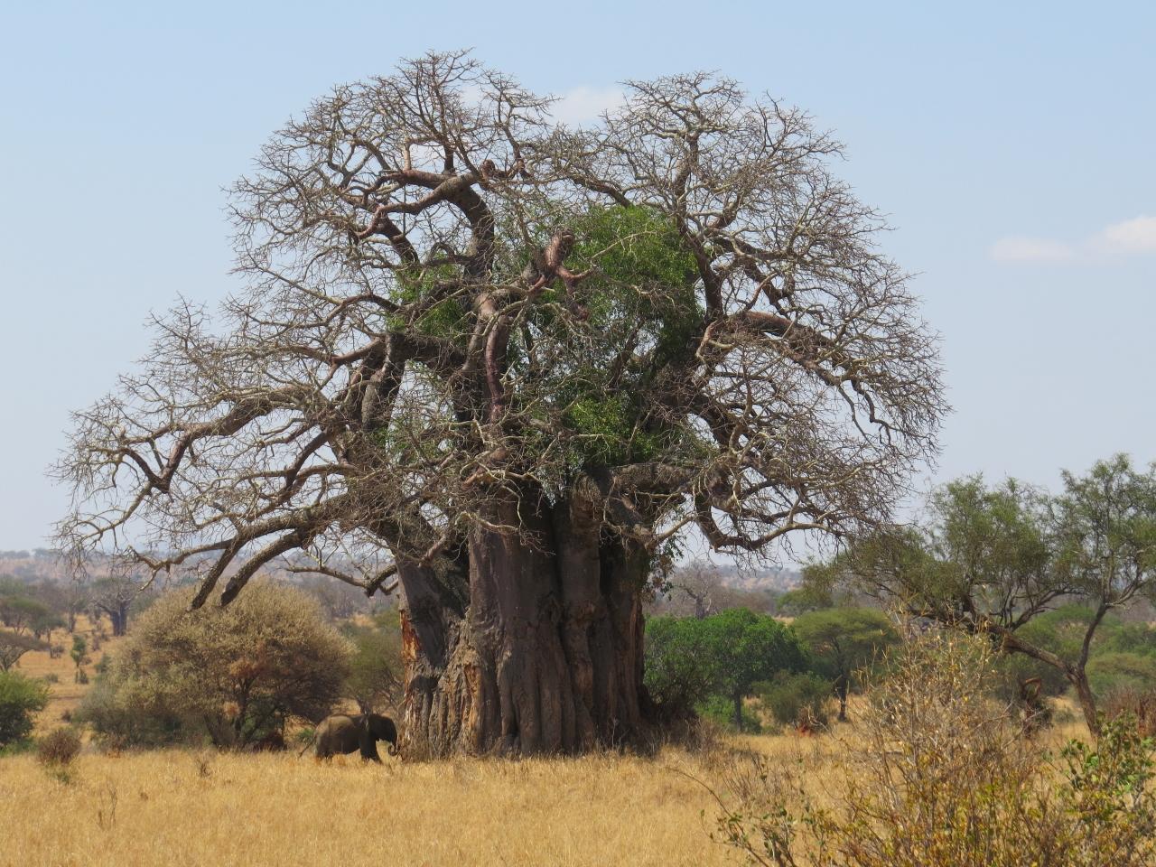 Tarangire - land of the giants - centuries-old baobab tree and elephant Copyrith Rupi Mangat