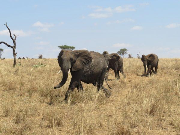 Elephants crossing through Randilen WMA into Tarangire National Park where the water swamp is in Tanzania. Picture: Galib Mangat