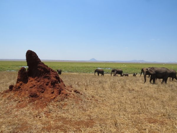 Elephants heading to Silalle Swamp - and the termite mounds that keep the soils alive Copyright Rupi Mangat