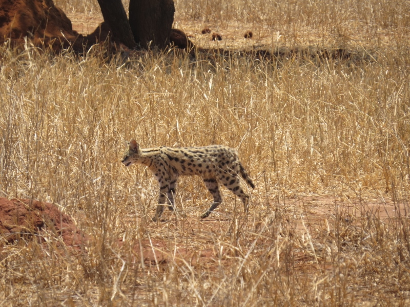 a serval that looks like a mini-leopard swaggers past  Copyright Rupi Mangat
