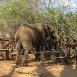 Brunch at Tarangire Treetops Lodge - elephant enjoying a sumptuous feast Picture: Galib Mangat