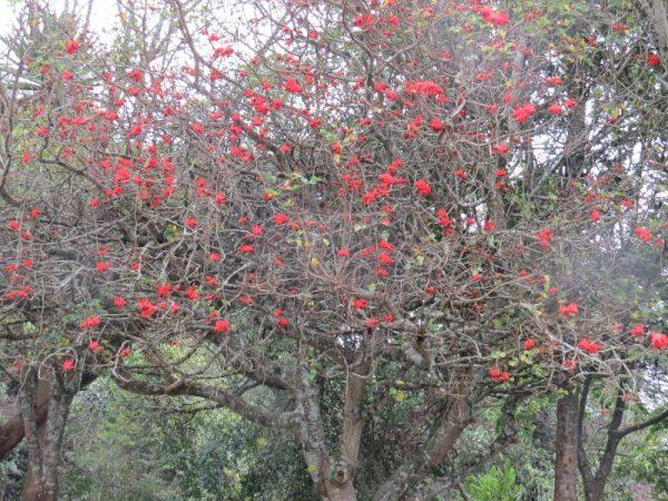 Red hot indigenous erythrina tree at Brackenhirst - copyright Rupi Mangat