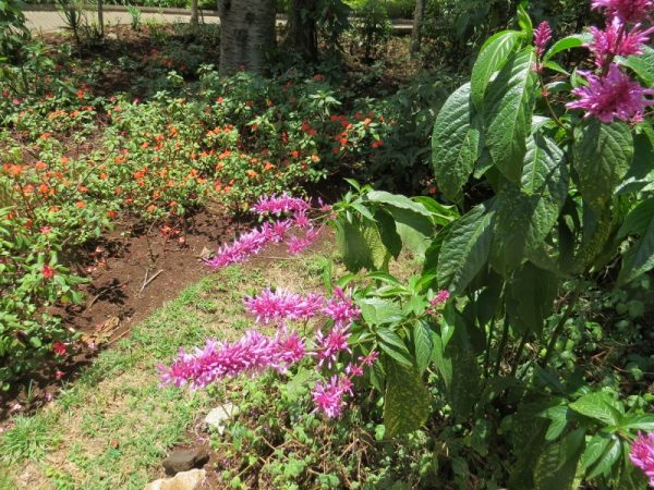 Lilac burst of an Acanth (400 species in Kenya). This is a South African Hypoestes, Copyright Rupi Mangat