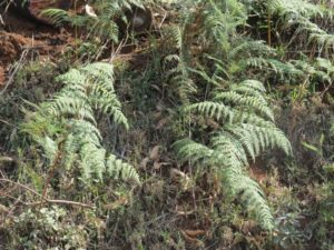 The actual Backen - a kind of fern found in the area Copyright Rupi Mangat