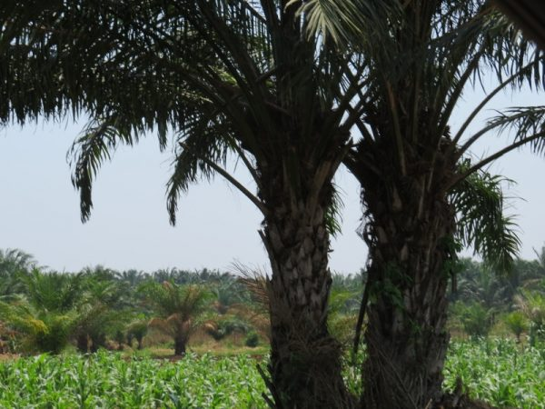 Along the East African coast of Tanzania - the sturdy palm oil tree – an important economic oil plant Copyright Rupi Mangat.