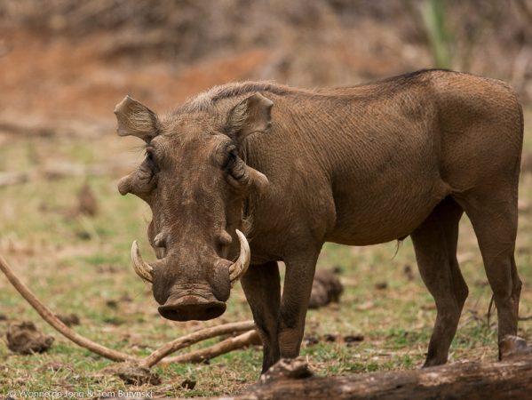 De Jong & Butynski - desert warthog (800x601)