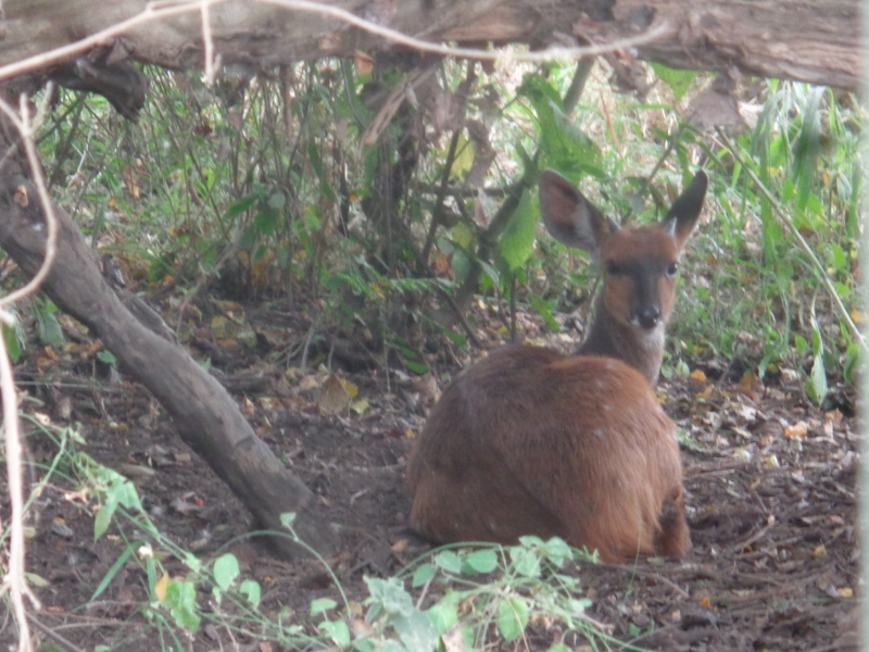 A reedbuck stares though the thick vines  Copyright Rupi Mangat
