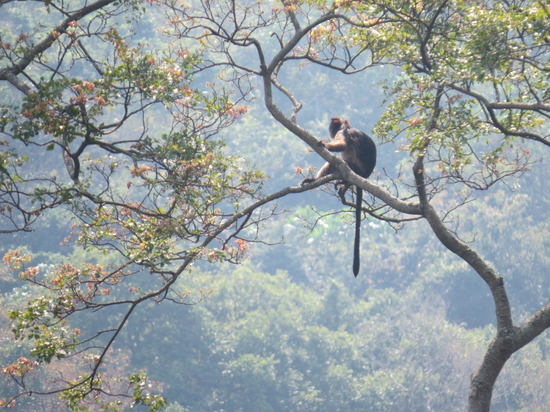 Red colobus high on tree at Gombe National Park surrounded by the chimpanzees Copyright Rupi Mangat
