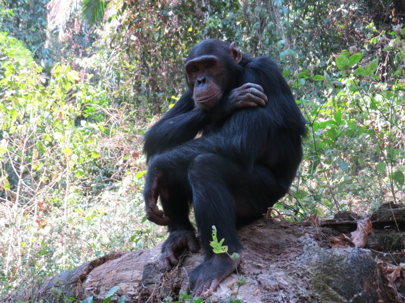 The Thinker - at Gombe National Park - from the Kasakela group Copyright Rupi Mangat