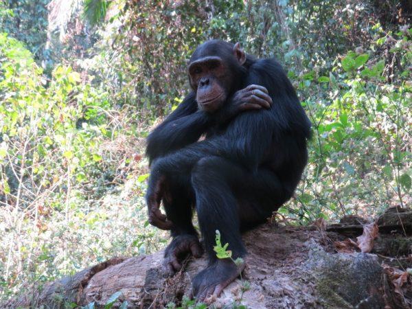 The Thinker - at Gombe National Park - from the Kasakela group Copyright Rupi Mangat
