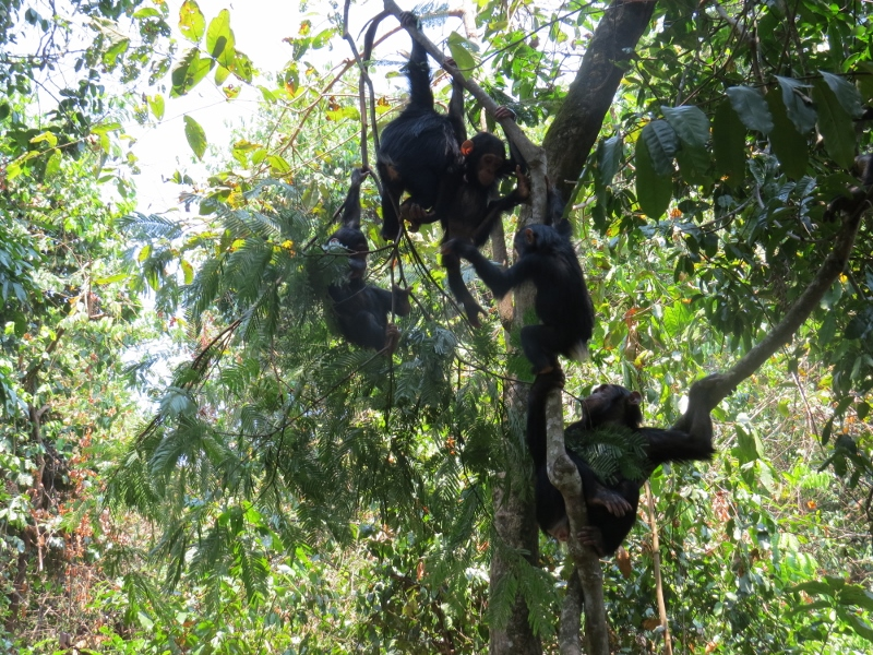 Children at play - the chimps of Gombe National Park - from the Kasakela group up a tree Copyright Rupi Mangat