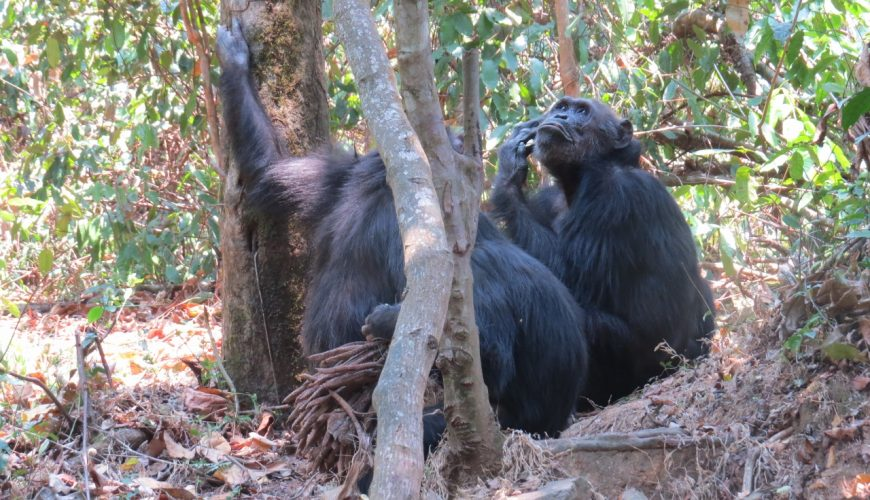 A meeting of the elders - the chimps of Gombe National Park - from the Kasakela group Copyright Rupi Mangat