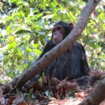 Watching...a young chimp of Gombe National Park - from the Kasakela group Copyright Rupi Mangat