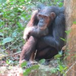 Hummm....what shall l do next? - at Gombe National Park - from the Kasakela group Copyright Rupi Mangat
