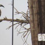 Eastern grey hornbill perches on a tree Copyright Rupi Mangat