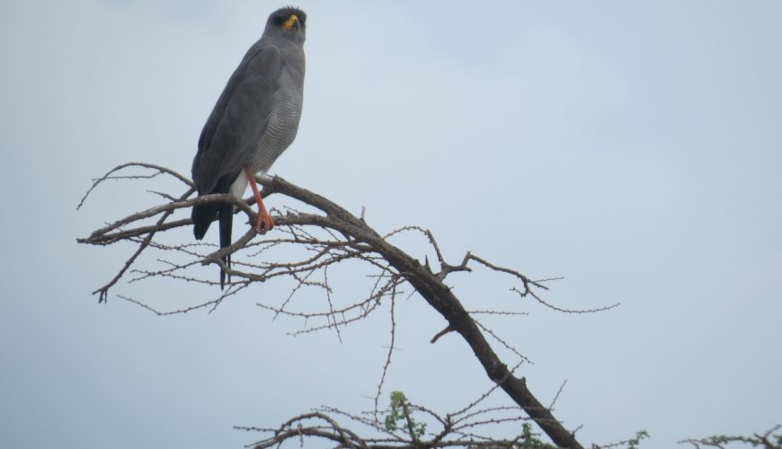 A raptor on arrival at Olorgesailie against the mountain Copyright Rup Mangat