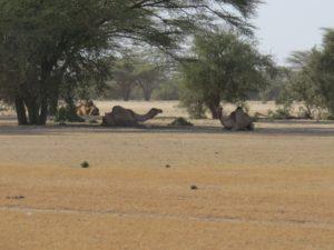 Camels in the desert north of Lodwar Copyright Rupi Mangat
