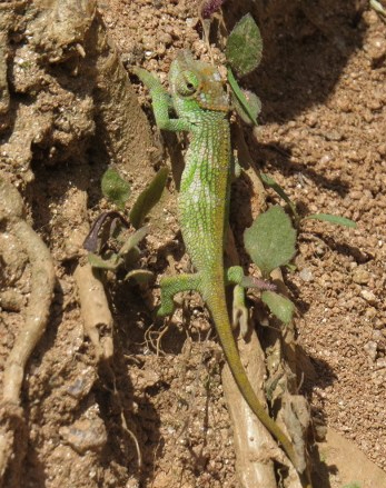 Endemic chameleon on Taita Hills Copyright Rupi Mangat