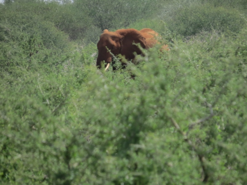 'Red' elephant coloured by the earth on side of road to Tsavo West Copyright Rupi Mangat