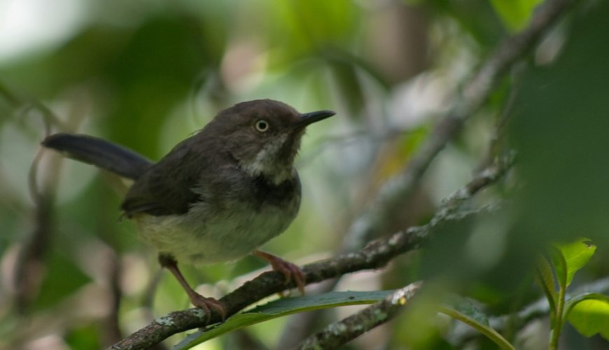 Critically endangered bird Taita apalis adult. Copyright Luca Borghesio