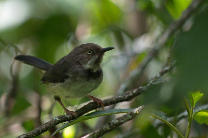 Critically endangered bird Taita apalis adult. Copyright Luca Borghesio
