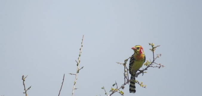 Red and Yellow barbet at Turkana Basn Institute - l would happily have traded places with it to flit around! Copyright Rupi Mangat
