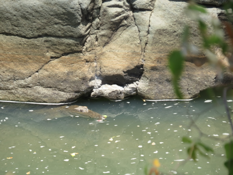 The crocodile in Kerio River at Cheploge Gorge just chilling escaping the HOT sun. Copyright Rupi Mangat