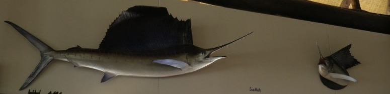 Magnificent Sailfish at Hemingways bar - life size caste model of the deep-sea fish  Copyright Rupi Mangat