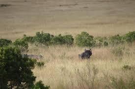 black rhino in mara