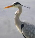 grey-heron.jpg