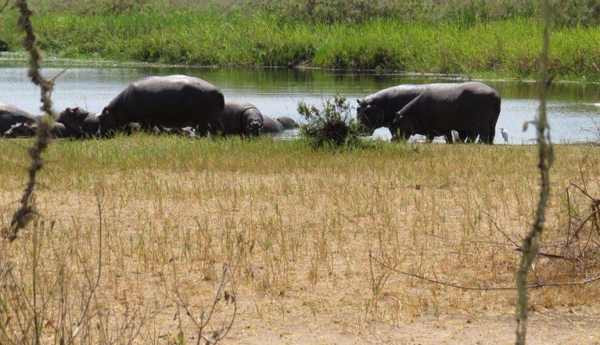 Hippos ashore Copyright Rupi Mangat