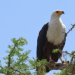 The stately African fish eagle Copyright Rupi Mangat