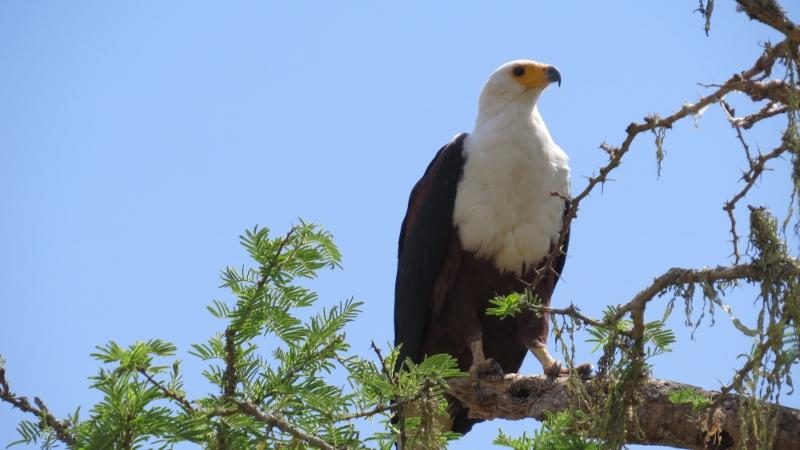 The stately African fish eagle Copyright Rupi Mangat