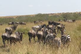 wildebeest and zebra in mara