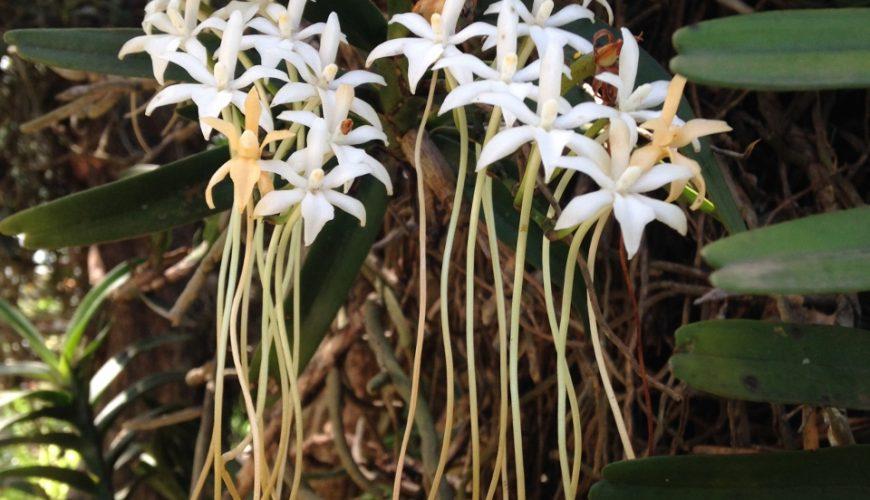 Orchids - indigenous to Kenya - Iphone Copyright Mark Nicholson