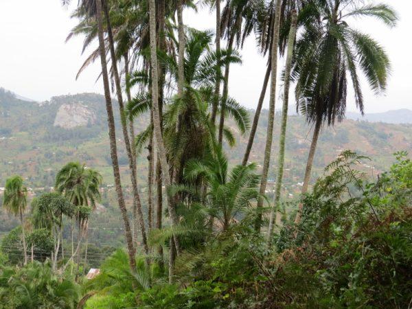 Phoenix reclinata, a common palm tree in Taita Hills. Copyright Rupi Mangat