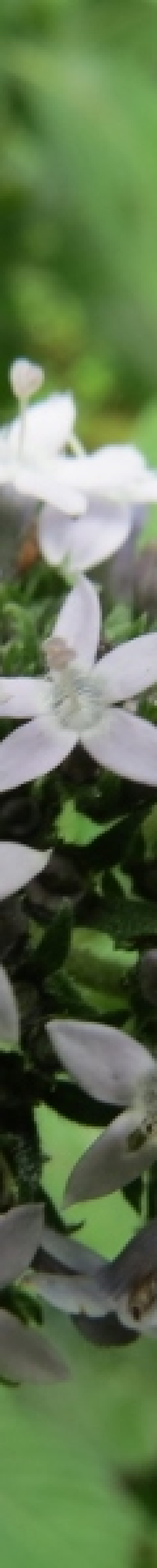 Wild flowers of Vuria in Taita Hills - copyright Rupi Mangat